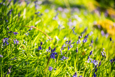 bluebell woods: Wild meadow with spring Bluebells flowers, at morning sunrise
