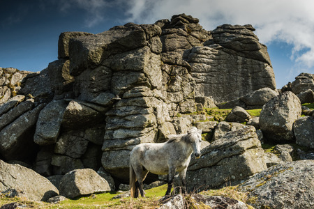 farmlife: White wild pony against rocky hill in Dartmoor Park, Devon, UK