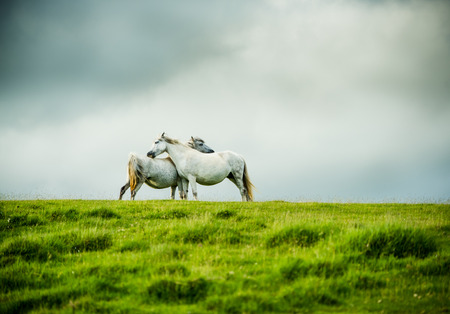 grey horses: wild grey horses couple, love concept. Dramatic moorland landscape with stormy sky.