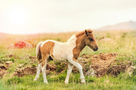 offspring: young offspring of wild pony horse running on grass Stock Photo