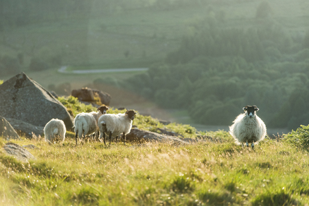 backlite: sheeps flock at sunset or sunrise backlit with light flare Stock Photo