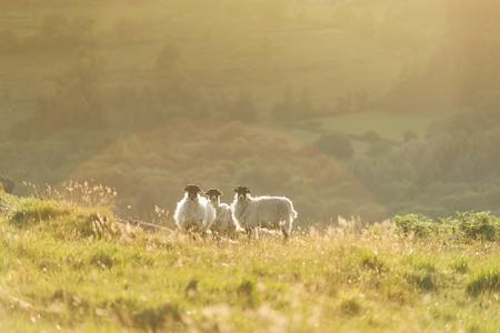 backlite: sheeps flock at sunset or sunrise backlit with light flare Stock Photo