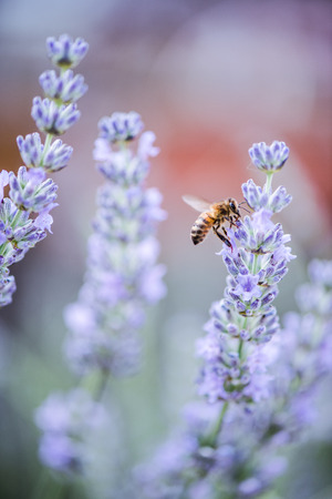 Bee pollinating lavender, blurred and tonned close up macro Stock Photo