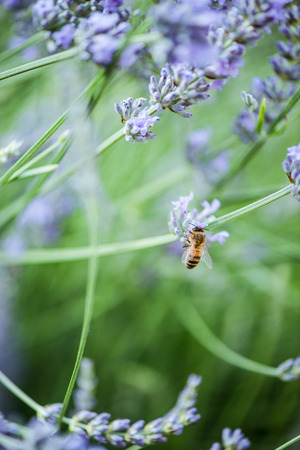 close up view: Bee on lavender taking nectar and pollen, close up view