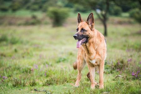 k9: gsd k9 security dog, full body portrait Stock Photo