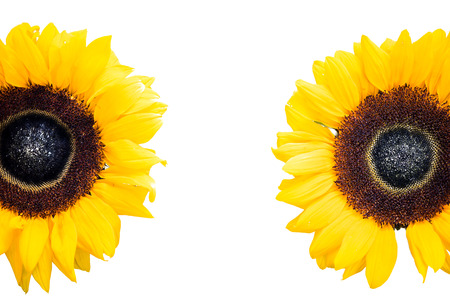 sunflowers heads isolated on white Stock Photo