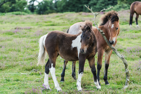 young horses play in moorland, heather season at late summer