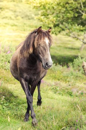 wild horse pony grazing on moorland in Dartmoor, UK, tonned image Stock Photo