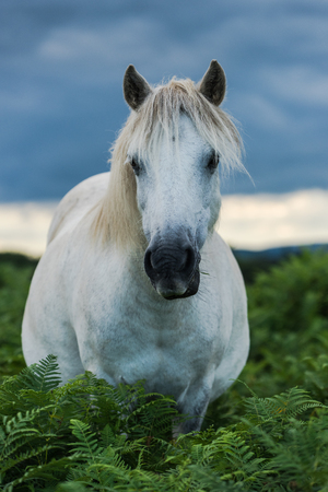 moorland: wild white horse looking at camera while grazing in moorland Stock Photo