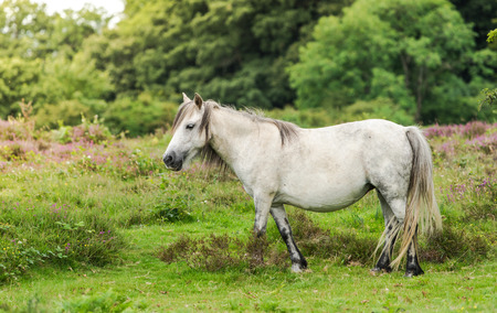 moorland: gray wild pony horse in heathers at fall in moorland Stock Photo
