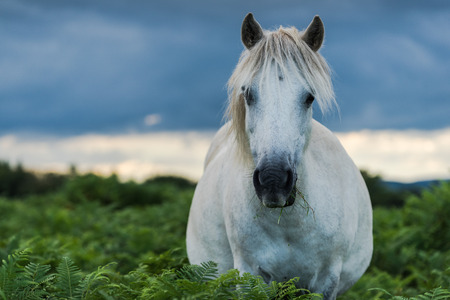 moorland: White and gray wild pony horse standing in fern fields in moorland