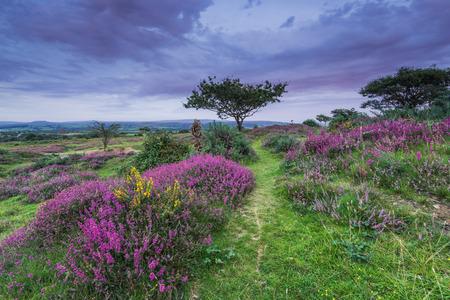 wild heather blooming in heathland in early autumn