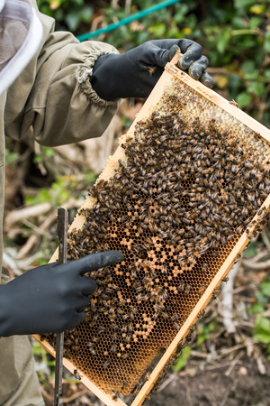closely: Beekeeper inspecting health of bees, looking closely at honeycomb frame
