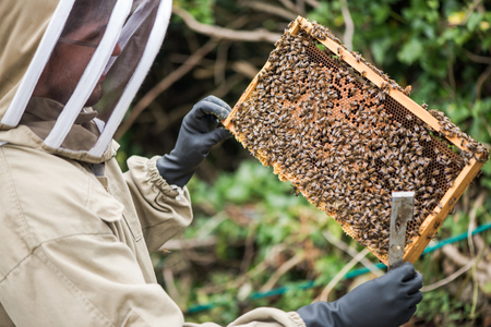Beekeeper hold honeycomb frame with bees for inspection Stock Photo