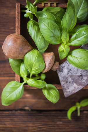leaf cutter: fresh basil and vintage herb chopper in wooden box