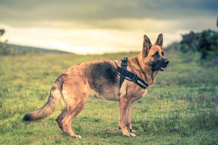 dog pose: german shepherd dog pose, full body Stock Photo