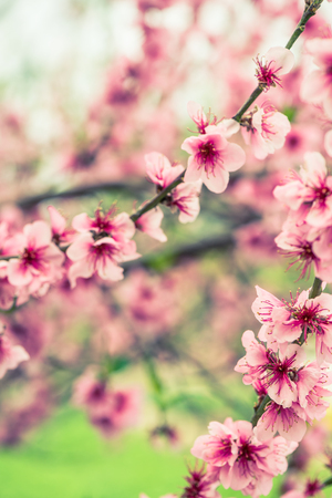 Blooming tree branch in spring with blured background Stock Photo