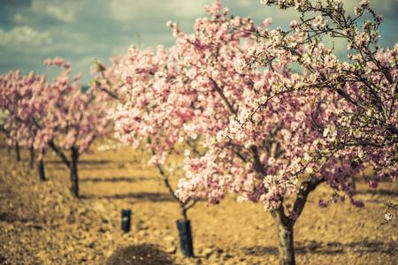 Fioritura di mandorli in primavera in frutteto. Archivio Fotografico - 72561643