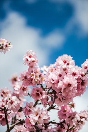 Spring bloom almond flowers on blue sky. Blur background, spring concept