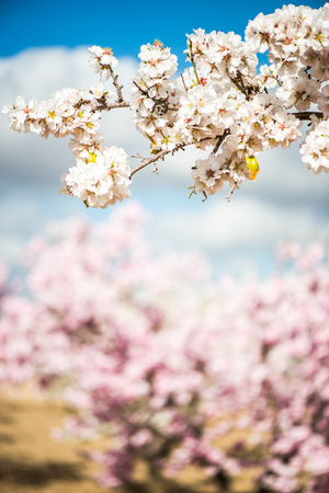 Spring blooming orchand with blurred background, orchand flowering trees