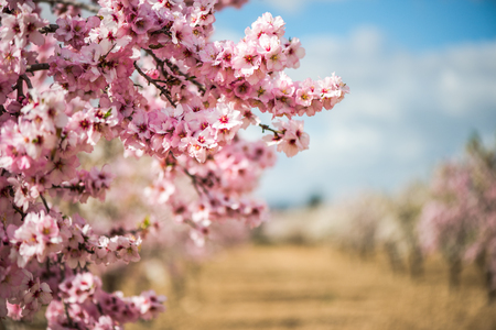 Spring blossom orchard. Beautiful nature scene with blooming tree and sun flare. Standard-Bild