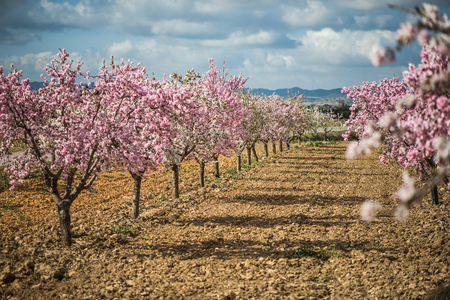 Spring blossom orchard. Beautiful nature scene with blooming tree and sun flare. Stock Photo