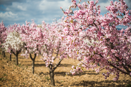 Blooming almond trees at springtime in orchard. Archivio Fotografico