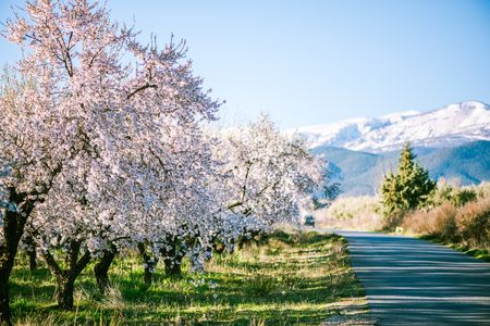 Blooming orchard trees with snow in background on mountains