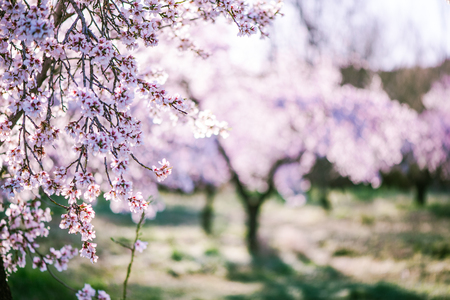 Almond tree blooming in orchard at spring in pastel colors