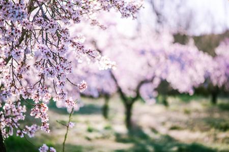 Amandier en fleur au verger au printemps dans des couleurs pastel Banque d'images