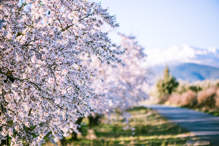 Almond tree blooming in orchard at spring in pastel colors Reklamní fotografie - 74714563