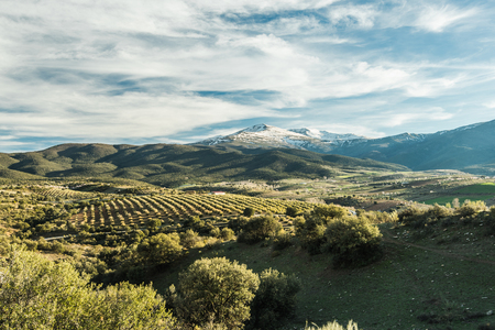 Panoramic view over olive trees and Sierra Nevada,Spain