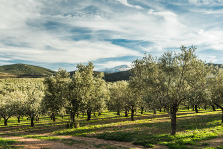 Olive trees in Sierra Nevada in Spain
