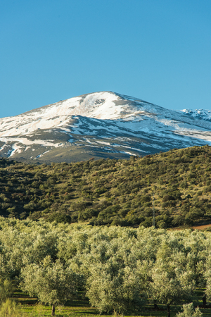 Olive trees plantation and Sierra Nevada snowy peaks, Spain