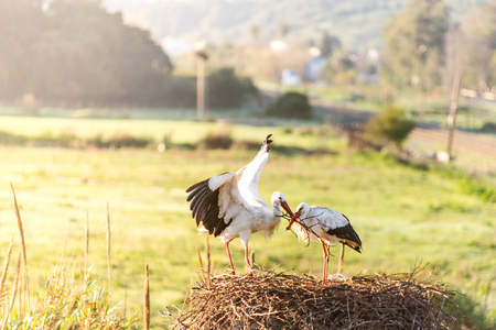White storks pair building nest