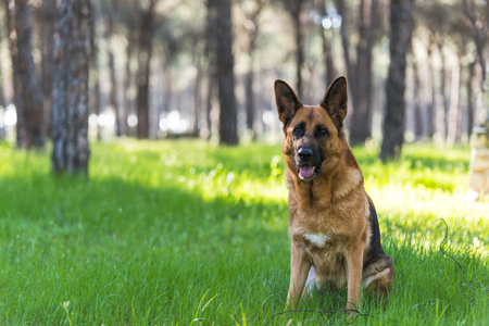 German shepherd dog sitting in forest on grass