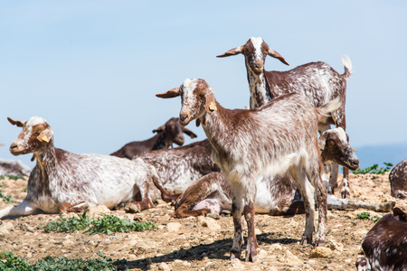 Goats at livestock farm, milk production and farming Stock Photo