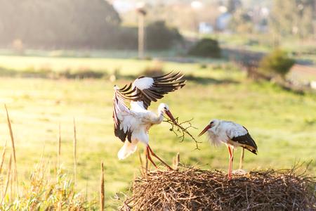 White storks pair building nest