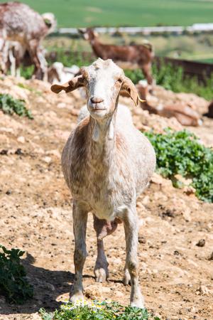 Goats at livestock farm, milk production and farming Фото со стока - 76410278