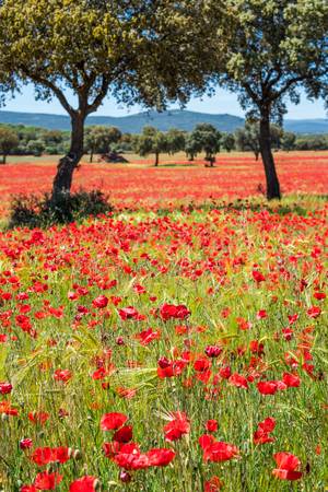 Fields of summer poppy flowers in crop field, summer feeling