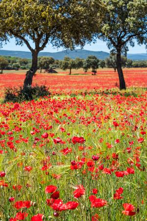 Velden van zomer papaver bloemen in gewas veld, zomer gevoel