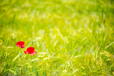 Abstract image of poppy in wheat crop field with blur and bokeh effect Stock Photo