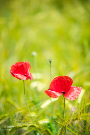 Close view on poppy flowers with bokeh and blur effect Stock Photo