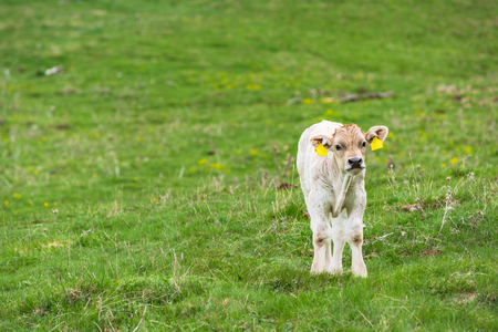 Young cow on green grass, farming and pasture Stock Photo