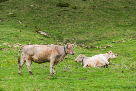 Cow pasture in rural Andorra in high Pyrenees mountains