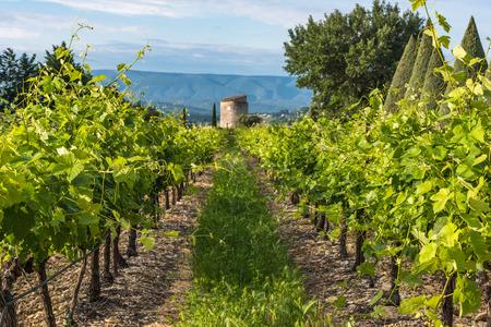 Weinberg in der Provence, Frankreich Standard-Bild - 80554029