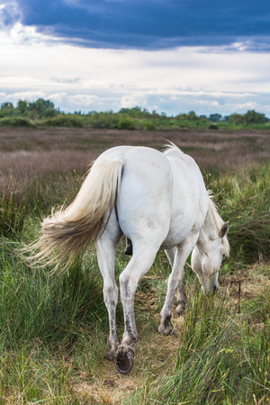 Wild white horse grazing in fields in Provence,France