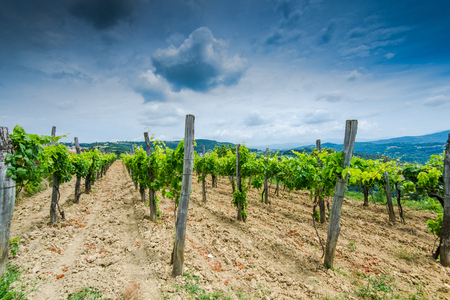 Traditional coutryside vineyards in Croatia.