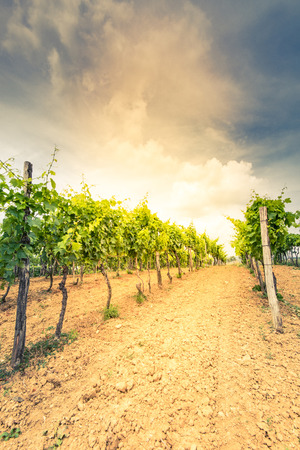 Toned image of vineyards and grape vine.