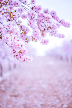 Spring blossom orchard. Abstract blurred background. Pastel colors and toned effect. Copy space with border. Stock Photo - 92557050